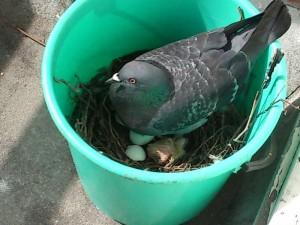 De duif in de emmer